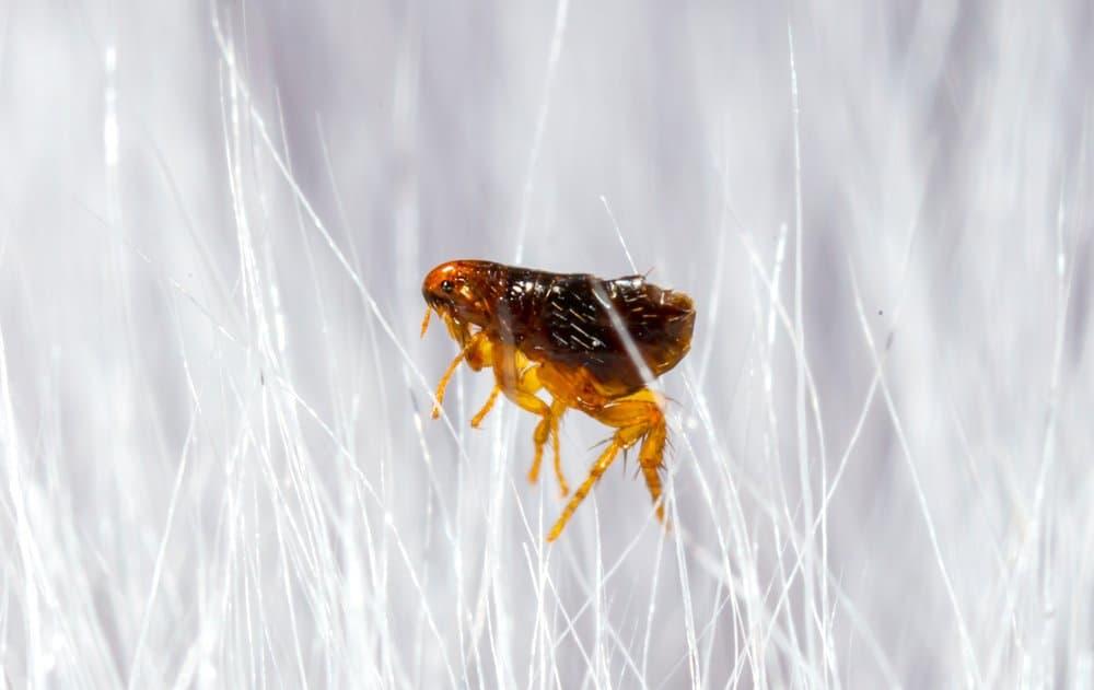 Un primer plano de una pulga rodeada de pelos blancos.