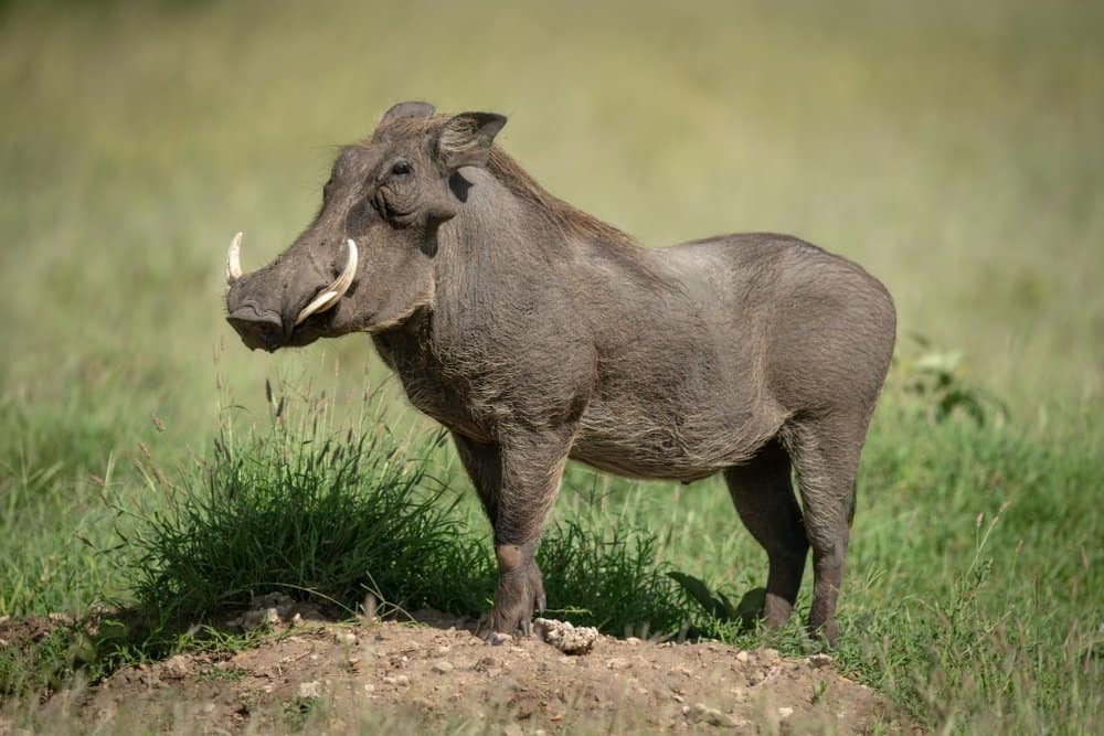 A warthog standing in the grass.