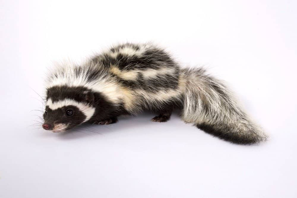 A striped polecat against a white background.