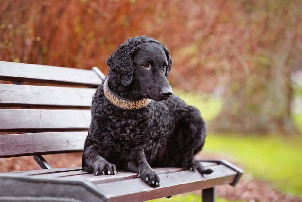 A curly-coated retriever laying on a park bench.