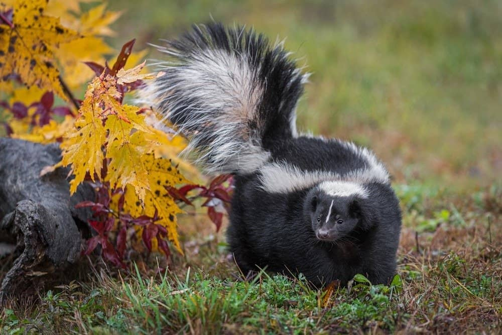 A skunk walking in the grass near yellow leaves.