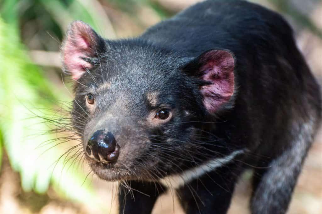 Close up of a Tasmanian devil.