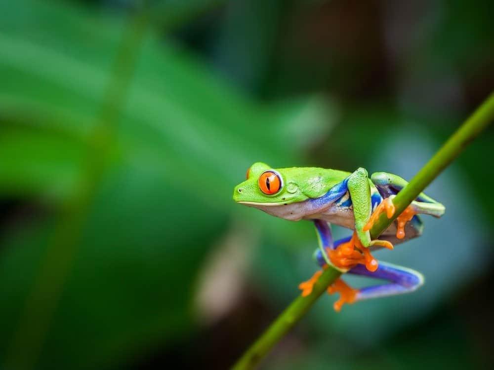 Una rana arborícola posada sobre un tallo verde.