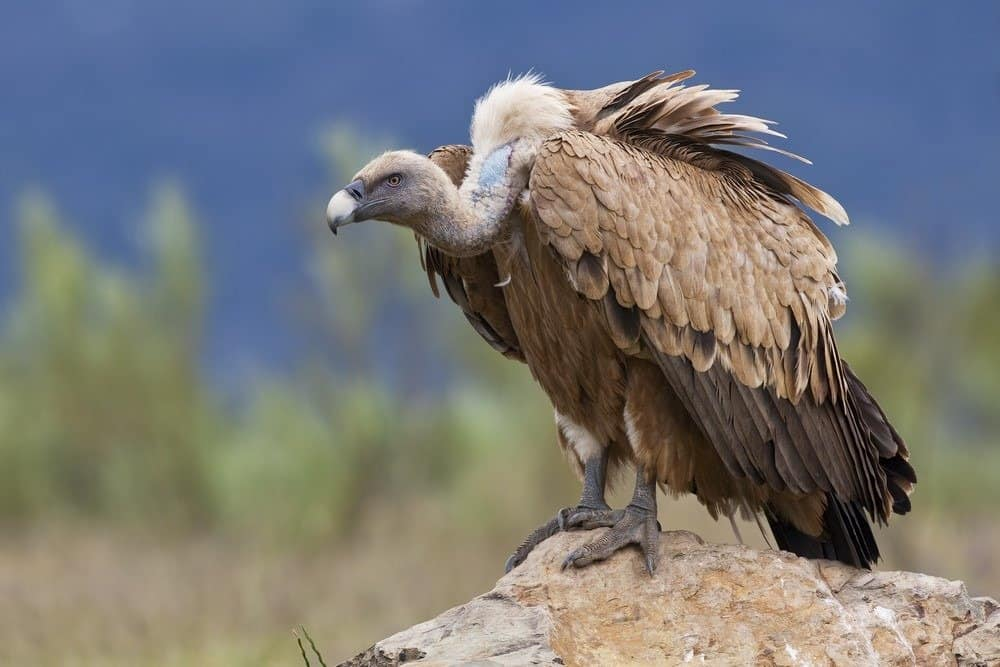 A vulture perched on a rock .