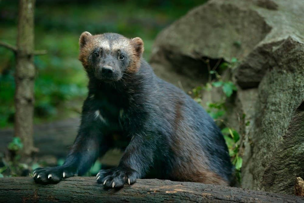 A wolverine with its front paws on a tree branch.
