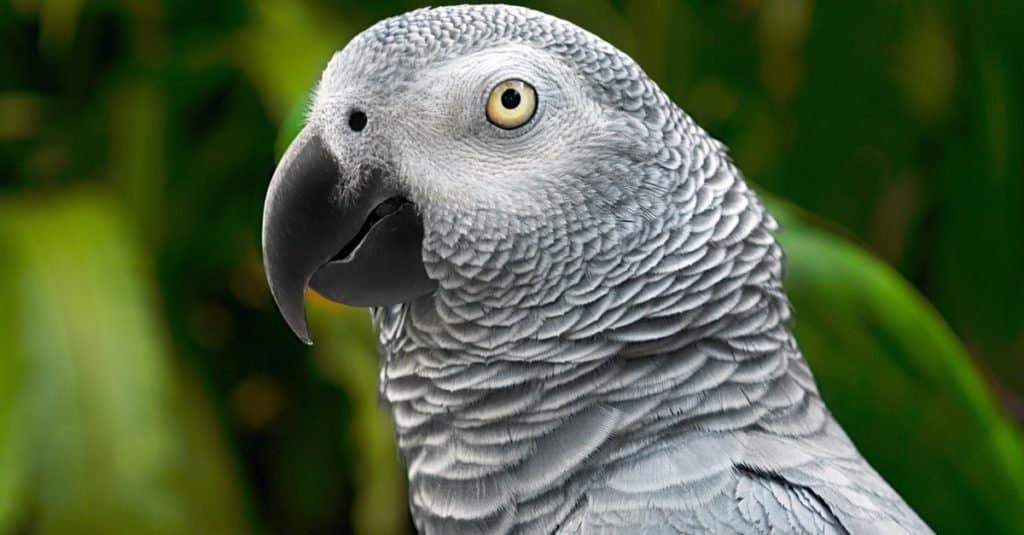 Smartest Animals – African Grey Parrot