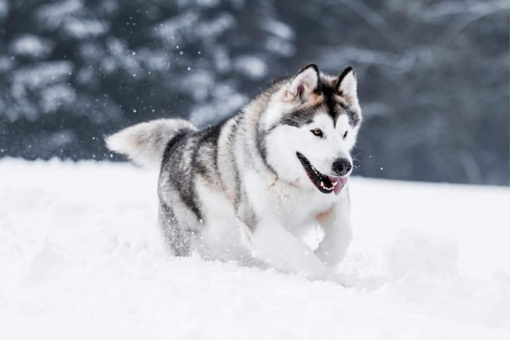 An Alaskan Malamute running through the snow with its tongue out.