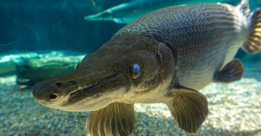 The alligator gar (Atractosteus spatula) is a ray-finned euryhaline fish related to the bowfin in the infraclass Holostei.