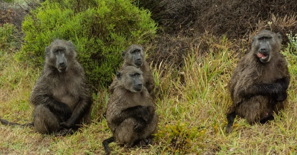 Safari Animals You MUST See: Baboon