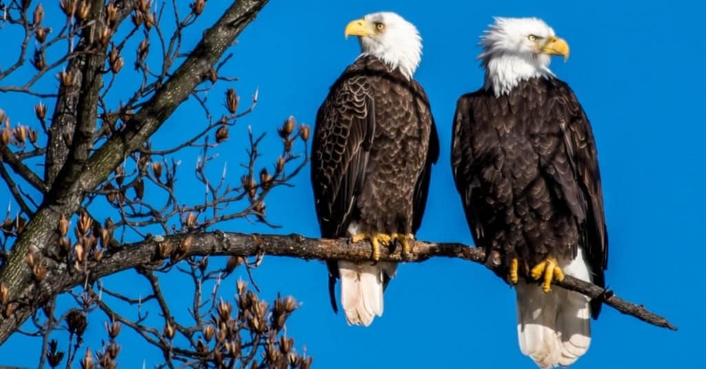 Animal That Mates for Life: Bald Eagle