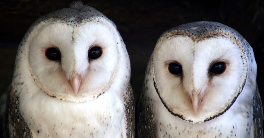 Animal That Mates for Life: Barn Owl