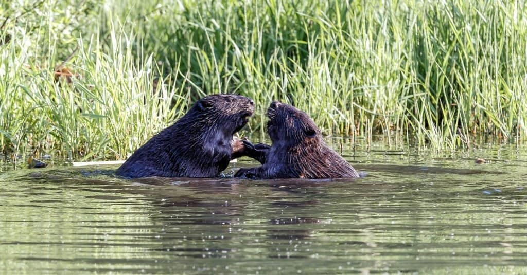 Animal That Mates for Life: Beavers