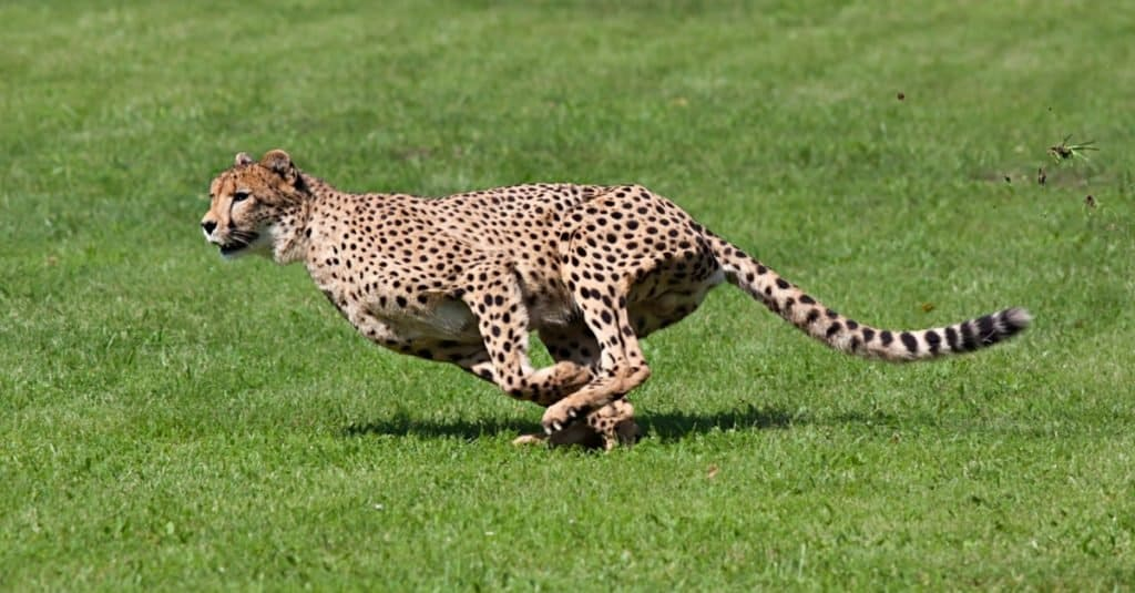 Safari Animals You MUST See:  Cheetah