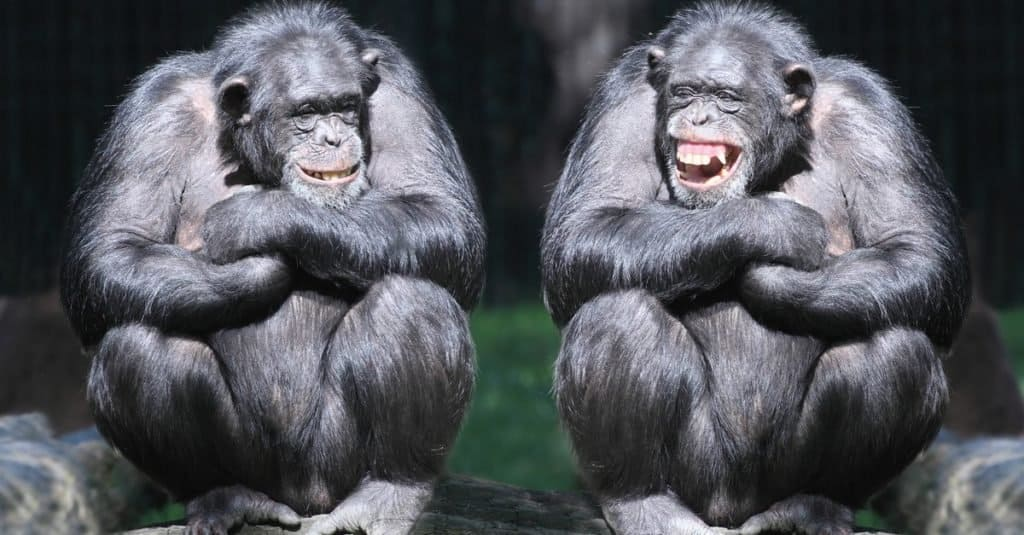 Smartest Animals – Chimpanzees
