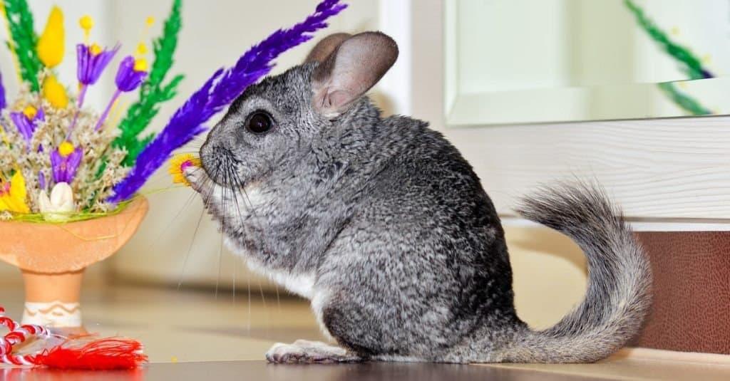 top 10 non-traditional pets - Chinchilla