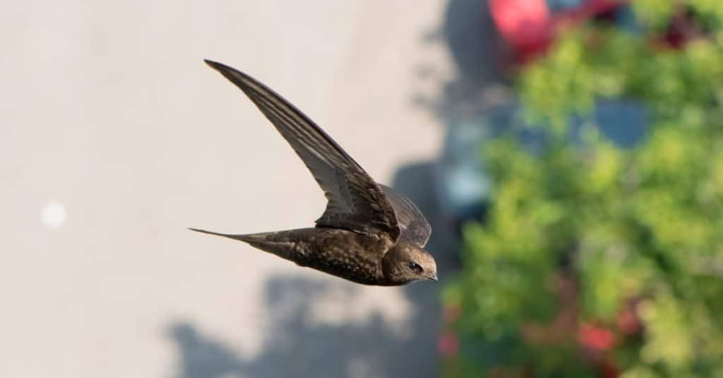Fastest Birds in the World: Common Swift