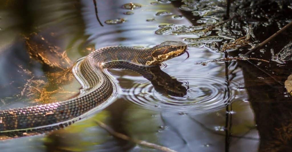 Water Moccasin vs Cottonmouth Snakes