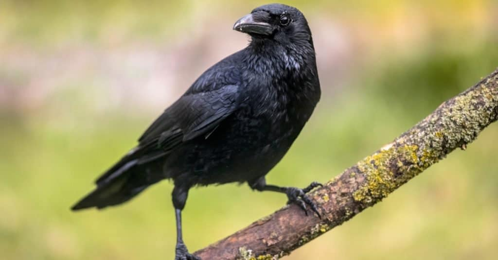 Smartest Animals – Crows