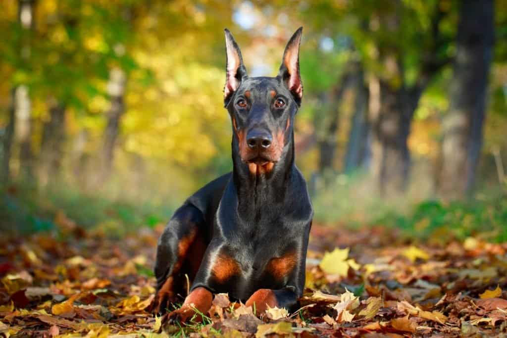 A Doberman Pinscher laying on the ground, surrounded by leaves, in the forest.