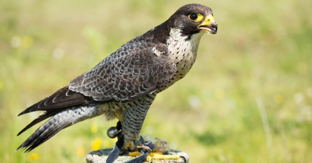Fastest Birds in the World: Eurasian Hobby