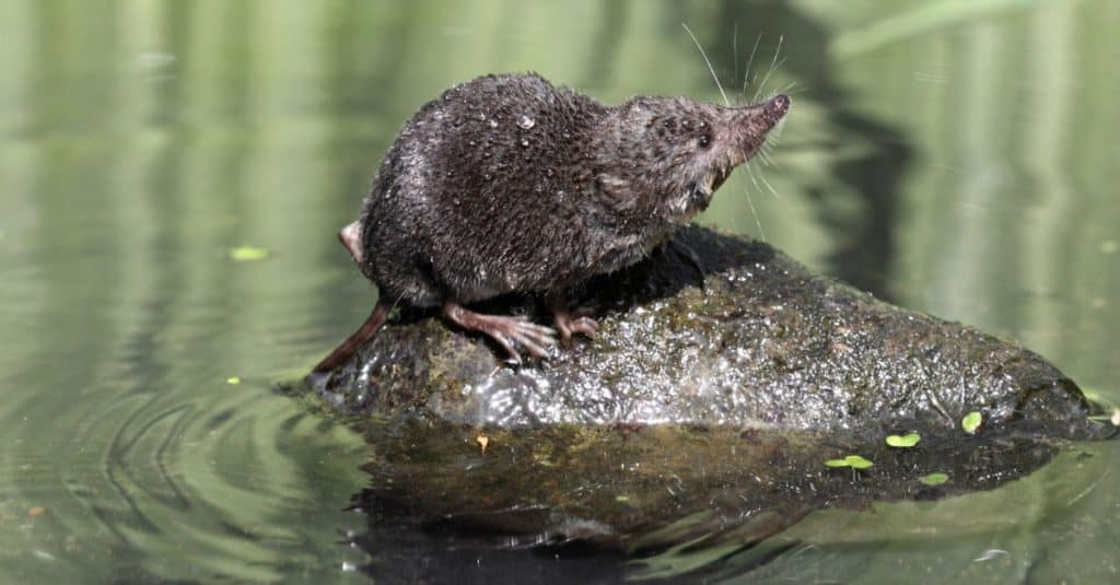 Most Venomous Mammals – Eurasian Water Shrew