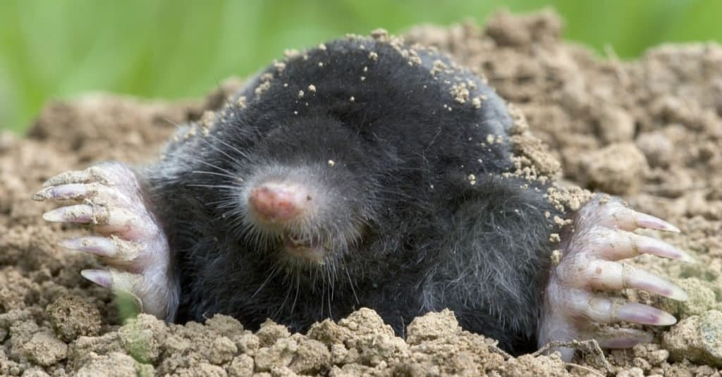 Most Venomous Mammals – European Mole