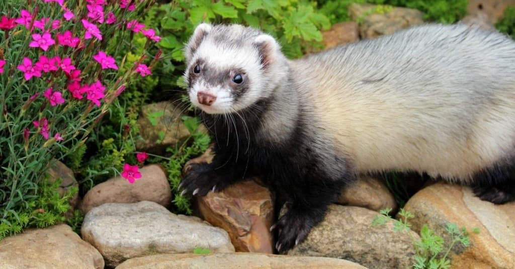 top 10 non-traditional pets - ferret
