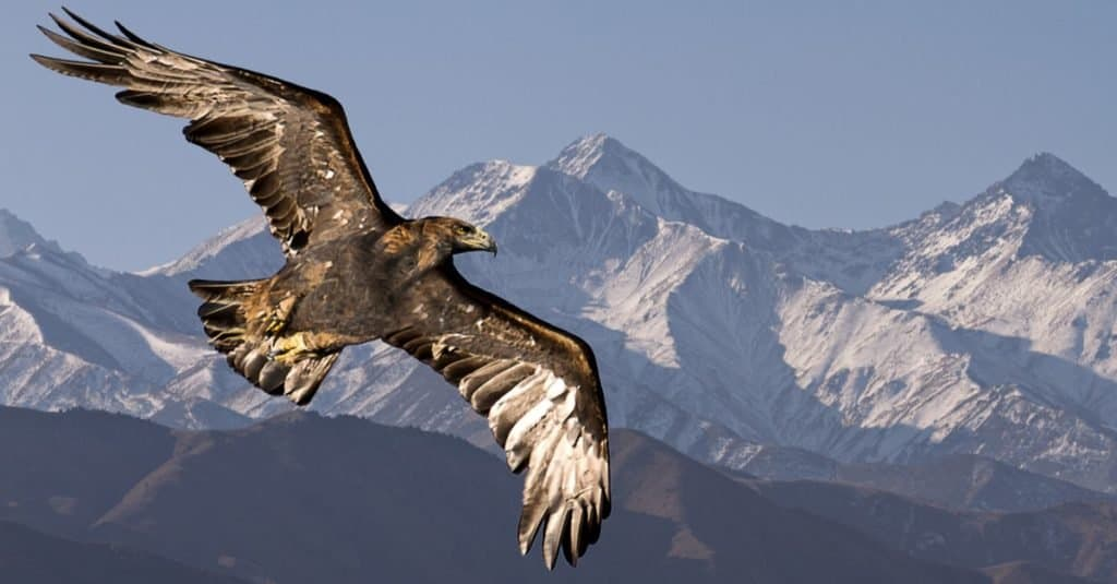 Fastest Birds in the World: Golden Eagle