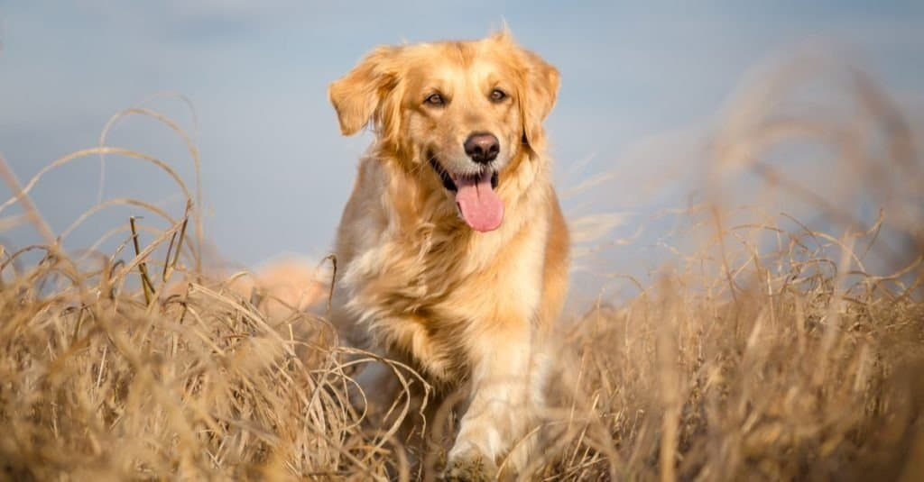 A Golden Retriever walking through tall, dead grass with its tongue out.