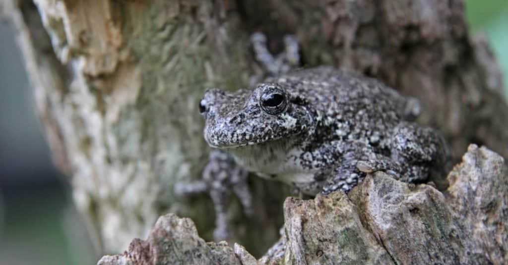 A Gray Tree Frog (Hyla versicolor) sitting on a stump.