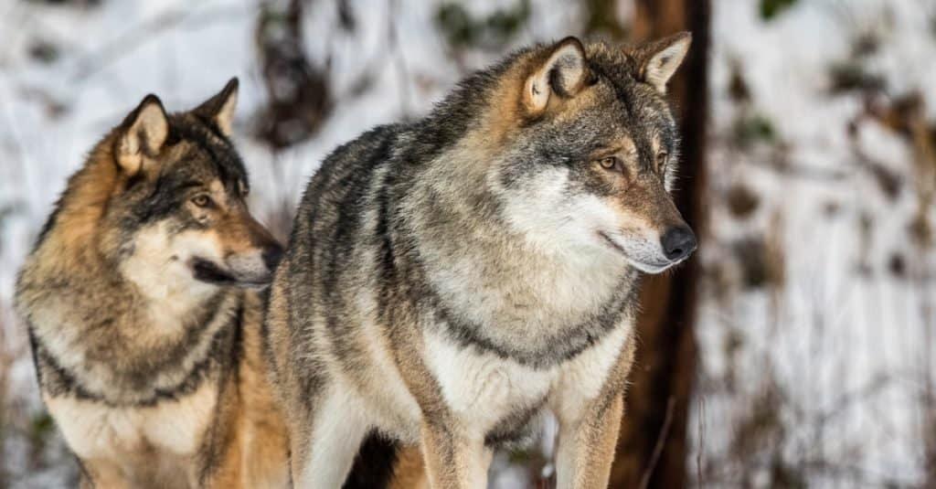 Animal que se aparea de por vida: lobo gris