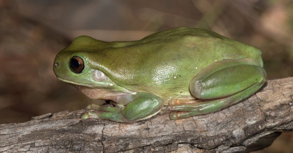 Green Tree Frog at rest on a branch