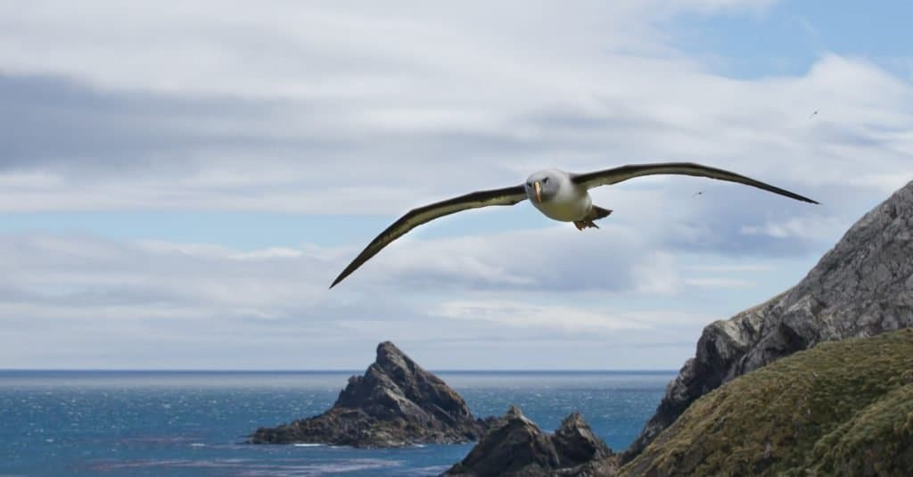 Fastest Birds in the World: Grey-headed Albatross