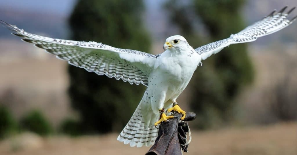 Fastest Birds in the World: Gyrfalcon