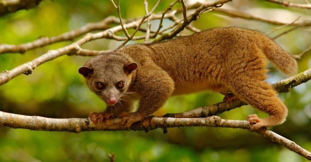 Kinkajou, Potos flavus, tropical animal in the nature forest habitat.