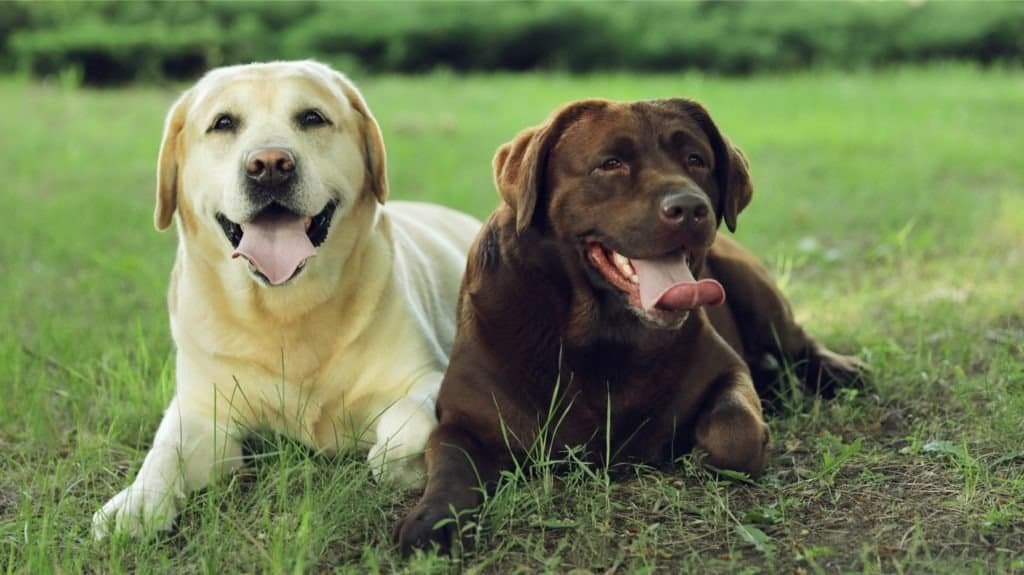 A brown lab and a yellow lab laying in the grass with their tongues out.