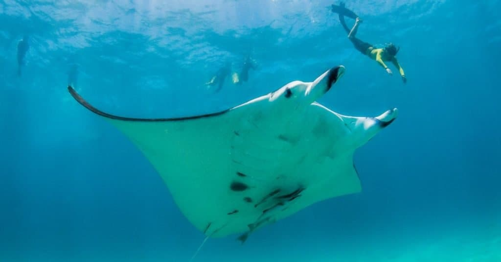 Biggest Fish in the World: Giant Oceanic Manta Ray