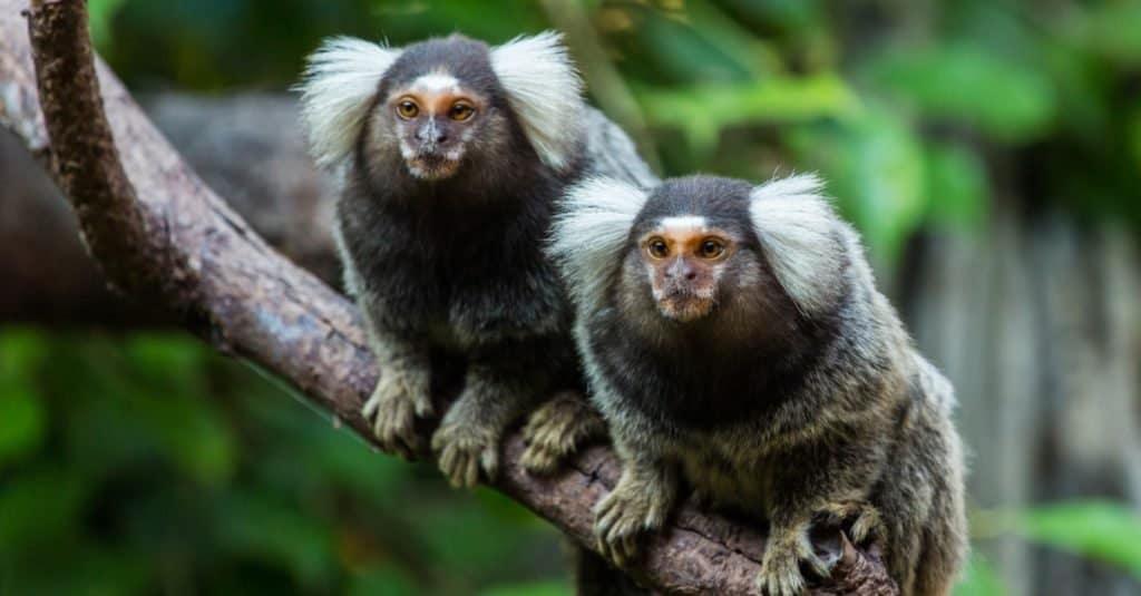Animal That Mates for Life: Marmoset