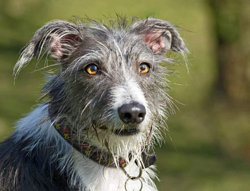 A close up of a grey and white mixed breed dog.
