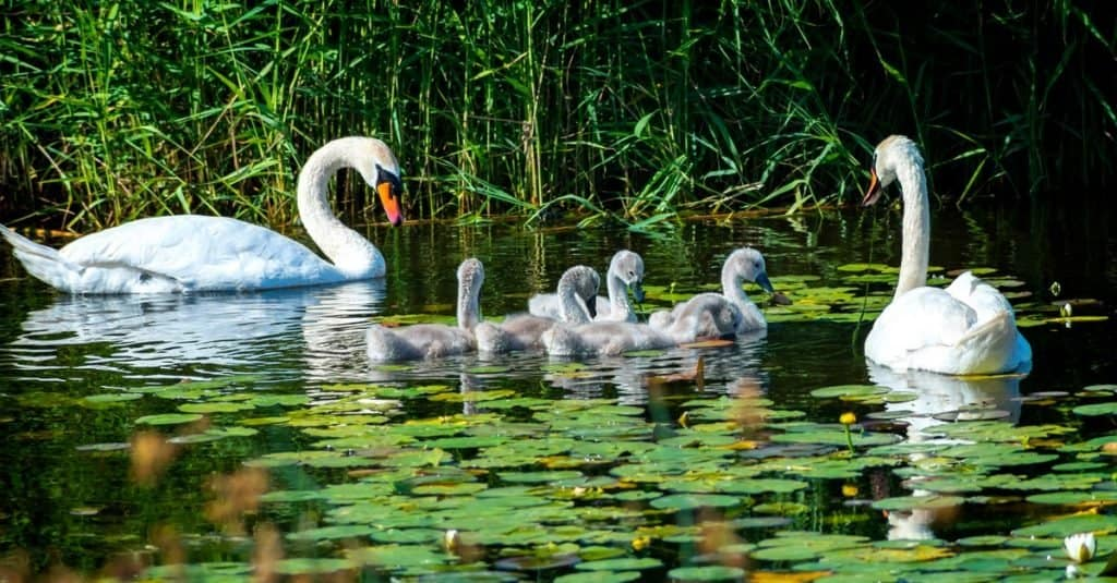 Animal That Mates for Life: Mute Swan