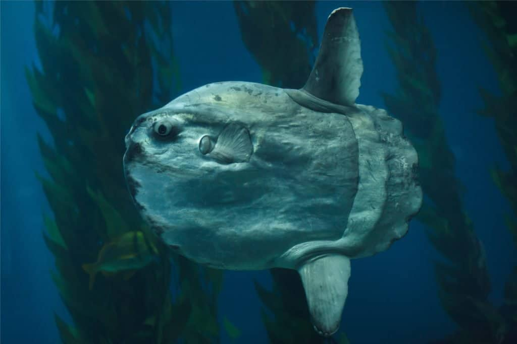 Biggest Fish in the World: Ocean Sunfish