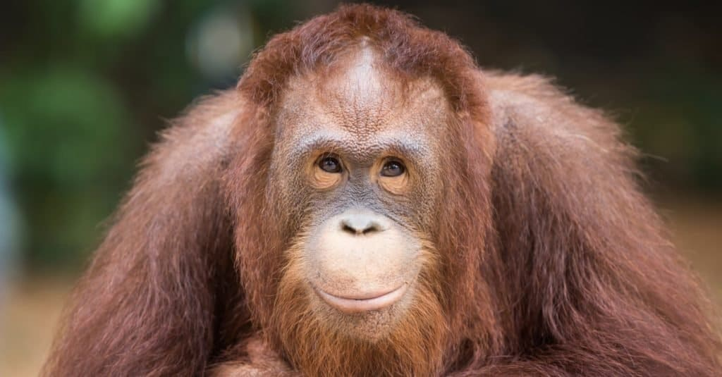 Smartest Animals – Orangutans