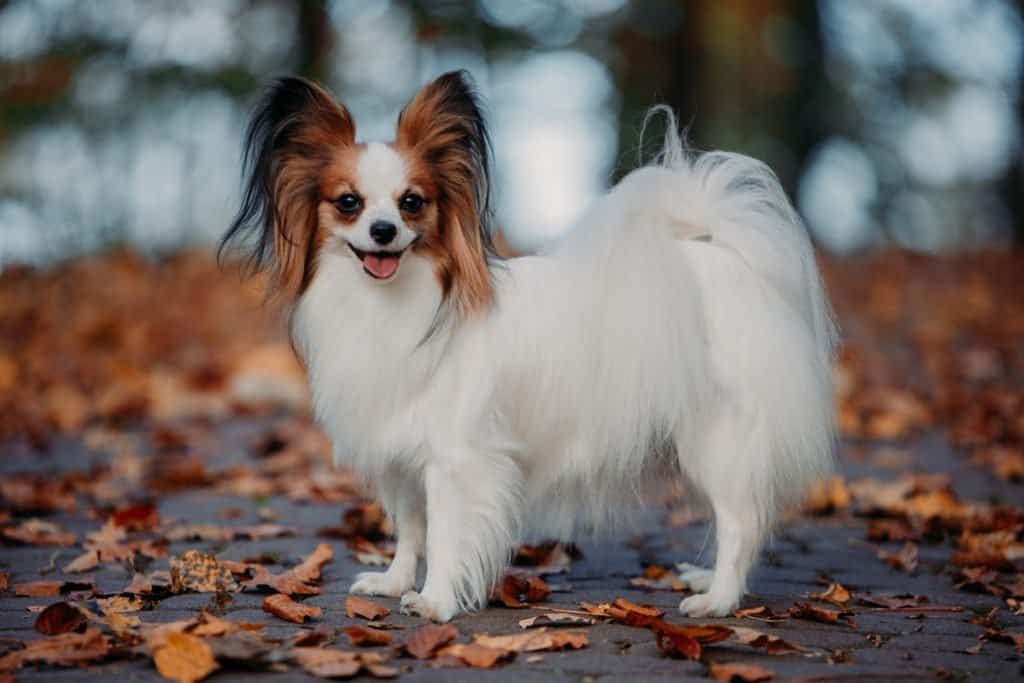 A Papillon standing on a sidewalk covered in fallen leaves.