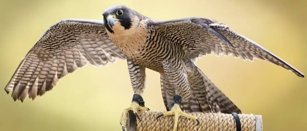 Fastest Birds in the World: Peregrine Falcon
