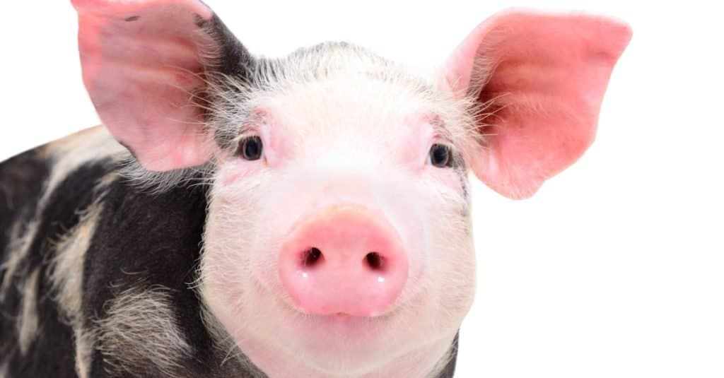 Smartest Animals – Pigs