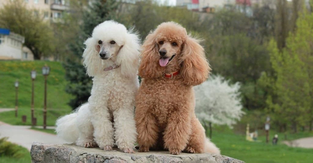 A brown poodle and a white poodle sitting on a rock in a park.