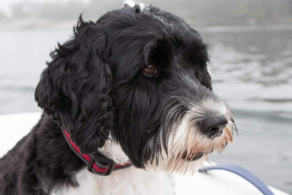 A Portuguese Water Dog's face near a body of water.