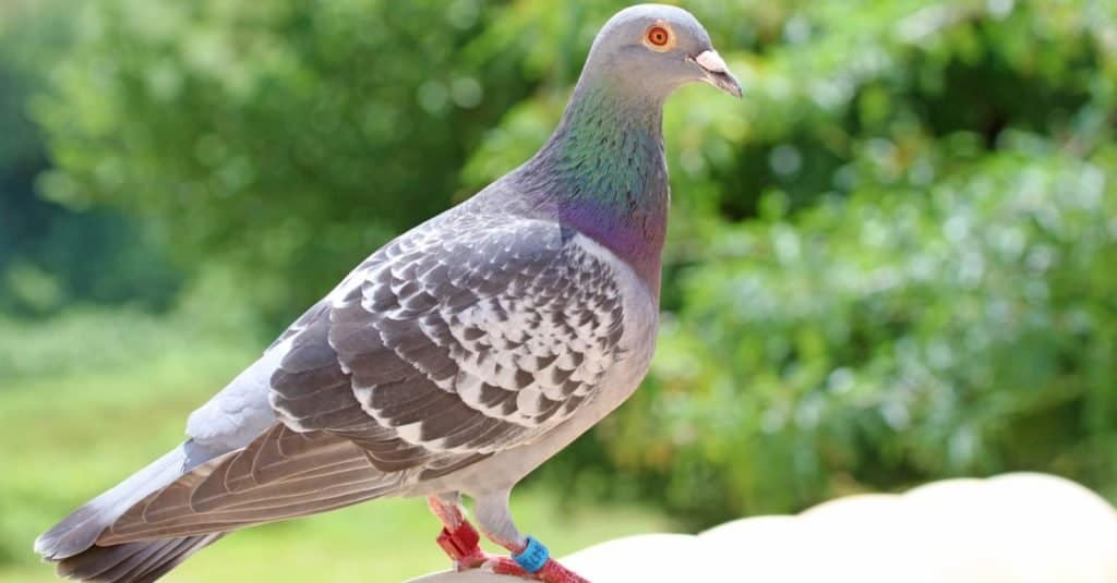Smartest Animals – Pigeons