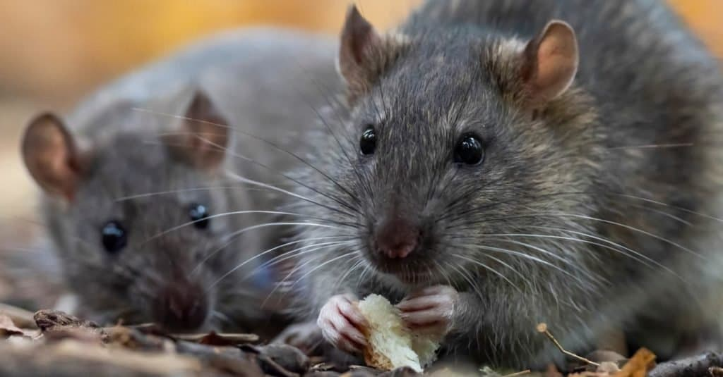 Smartest Animals – Rats