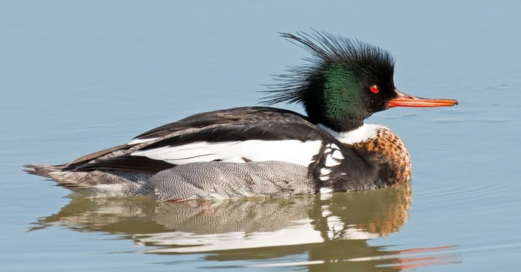 Fastest Birds in the World: Red-breasted Merganser